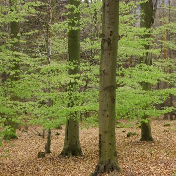 Wald mit Bäumen, Buchen und Buchenlauib auf dem Boden